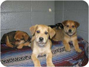 "Labrador Retriever/Shepherd (Unknown Type) Mix Puppy for adoption in Henderson, North Carolina - The ""O"" pups - females"