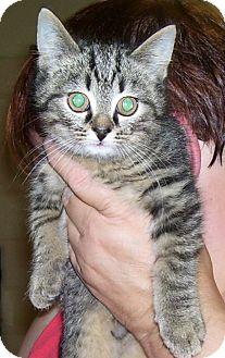 Domestic Shorthair Kitten for adoption in Somerset, Pennsylvania - Moses