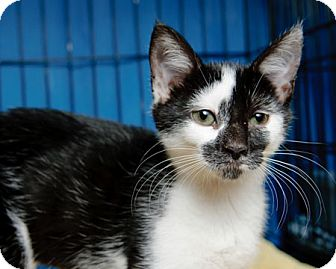 Domestic Shorthair Kitten for adoption in Gaithersburg, Maryland - Crazy Face