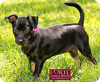 Miniature Pinscher Mix Puppy for adoption in Marina del Rey, California - Zara