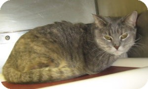 Domestic Shorthair Cat for adoption in Stillwater, Oklahoma - Sophie