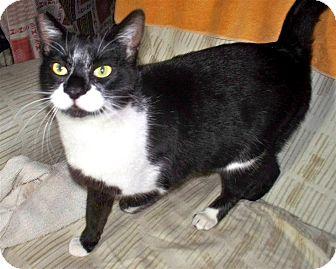 Domestic Shorthair Cat for adoption in Vista, California - Meowzer
