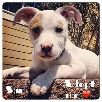 American Pit Bull Terrier/American Bulldog Mix Puppy for adoption in Greeley, Colorado - Sam