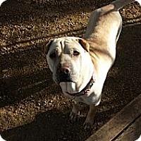 Adopt A Pet :: Laila - Houston, TX