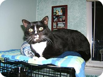 Domestic Shorthair Cat for adoption in Chesapeake, Virginia - Mr. Whiskers