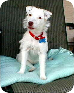 Jack Russell Terrier Mix Dog for adoption in Gilbert, Arizona - Lucy