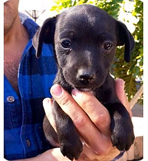 Chihuahua Mix Puppy for adoption in Los Angeles, California - Comet