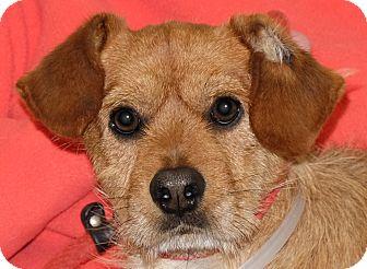 Terrier (Unknown Type, Small) Mix Dog for adoption in Spokane, Washington - Lester
