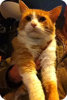 Domestic Mediumhair Cat for adoption in Mentor, Ohio - Pugsly 8 month main coon mix