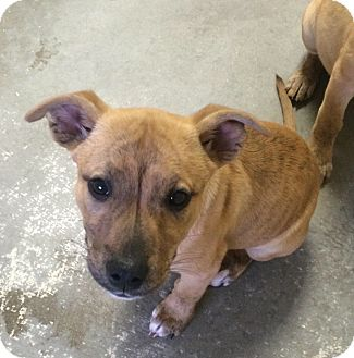 Boxer Mix Puppy for adoption in Greensburg, Pennsylvania - Milly and Lilly