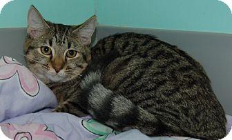 Domestic Shorthair Cat for adoption in Fairfax, Virginia - Ethel