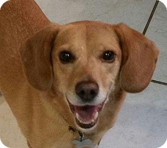 Beagle Mix Dog for adoption in Richmond, Virginia - Dixie