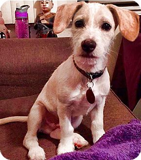 Beagle/Jack Russell Terrier Mix Puppy for adoption in Redondo Beach, California - Max
