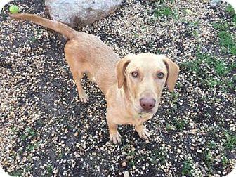 Basset Hound/Golden Retriever Mix Dog for adoption in Philadelphia, Pennsylvania - Chaplin