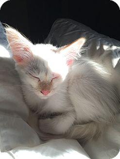 Colorpoint Shorthair Kitten for adoption in Fountain Hills, Arizona - GISELE