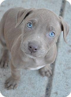 Pit Bull Terrier/Weimaraner Mix Puppy for adoption in Toledo, Ohio - Cooper