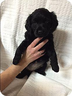 Cockapoo Mix Puppy for adoption in Hainesville, Illinois - Shawna