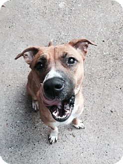Pit Bull Terrier Mix Dog for adoption in St. Paul, Minnesota - Gracie