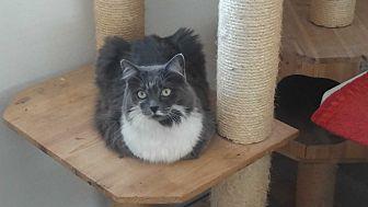 Domestic Mediumhair Cat for adoption in El Cajon, California - Nancy