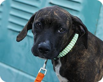 Boxer/Hound (Unknown Type) Mix Puppy for adoption in Mayflower, Arkansas - Dorothy