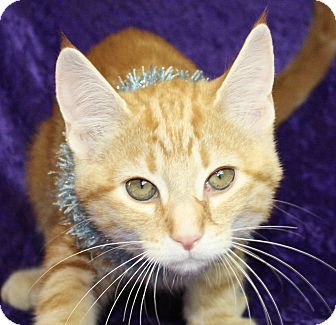 Domestic Shorthair Kitten for adoption in Jackson, Michigan - Dewey