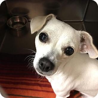 Chihuahua Mix Dog for adoption in Westminster, California - Starfire