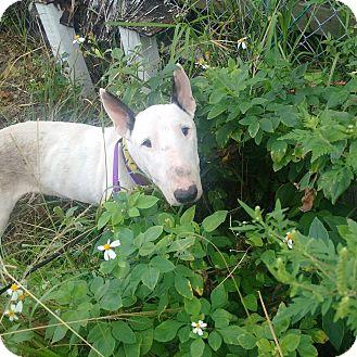 Bull Terrier Dog for adoption in Ft. Lauderdale, Florida - Lola