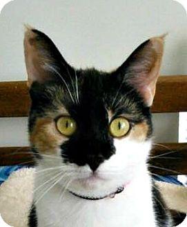 Calico Cat for adoption in Burlington, North Carolina - GiGi