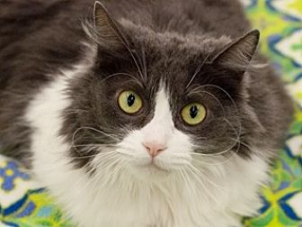 Domestic Longhair Cat for adoption in Great Falls, Montana - Rosalee