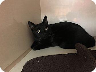 Domestic Mediumhair Cat for adoption in Leawood, Kansas - Friday