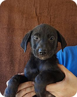 Golden Retriever/Labrador Retriever Mix Puppy for adoption in Oviedo, Florida - Mika
