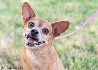 Chihuahua Mix Dog for adoption in Tucson, Arizona - Rosie