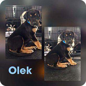 Hound (Unknown Type)/Shepherd (Unknown Type) Mix Puppy for adoption in Mesa, Arizona - OLEK