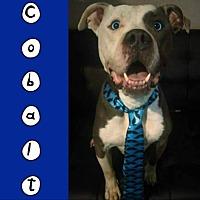 Adopt A Pet :: Cobalt - Des Moines, IA