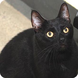 Domestic Shorthair Cat for adoption in San Francisco, California - Puma