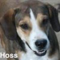 Adopt A Pet :: Hoss - Tahlequah, OK