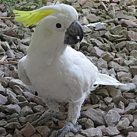 Cockatoo for adoption in Elizabeth, Colorado - Franklin
