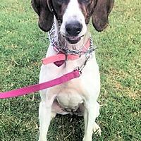Treeing Walker Coonhound Mix Dog for adoption in Atlanta, Georgia - Miss Luna