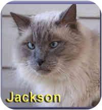 Himalayan Cat for adoption in Aldie, Virginia - Jackson