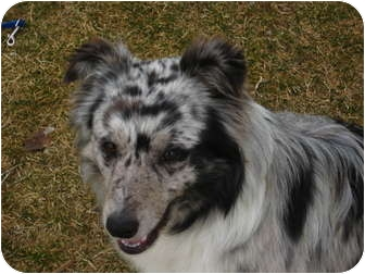 Australian Shepherd Mix Dog for adoption in Jerome, Idaho - 4500