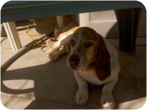 Basset Hound Dog for adoption in Acton, California - Tofer