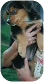 Border Collie Mix Puppy for adoption in Plainfield, Connecticut - Spirit