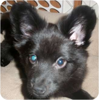 Schipperke/Shepherd (Unknown Type) Mix Puppy for adoption in Lincolnton, North Carolina - Teddy