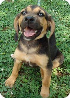 Beagle/Hound (Unknown Type) Mix Puppy for adoption in Staunton, Virginia - Roscoe