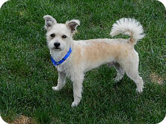 Westie, West Highland White Terrier/Poodle (Miniature) Mix Dog for adoption in Troy, Michigan - Levi