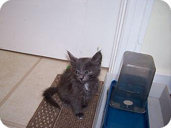 Russian Blue Kitten for adoption in Santa Monica, California - Gracie