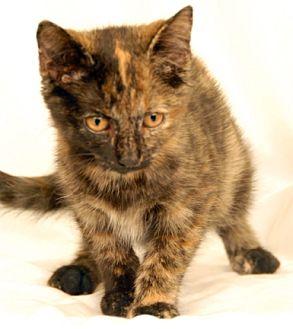 Domestic Shorthair Cat for adoption in Newland, North Carolina - Sally