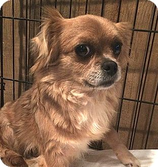 Chihuahua Mix Dog for adoption in Carmel, New York - Autumn - Courtesy Post