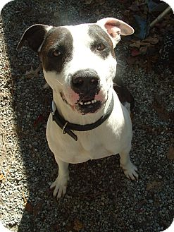 American Staffordshire Terrier Mix Dog for adoption in Rocky Point, North Carolina - Skooter