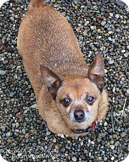 Chihuahua/Pug Mix Dog for adoption in Seattle c/o Kingston 98346/ Washington State, Washington - Mr. Magee
